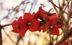 Slut upp röd grupp för körsbärsröd blomning med bakgrund för trädfilial S arkivfoton