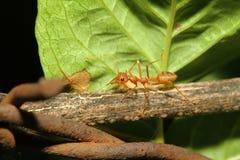slut upp röd myra på trä Arkivbilder