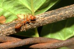 slut upp röd myra på trä Royaltyfri Bild