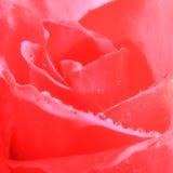 Slut upp röd ros - fyrkantigt format Royaltyfri Fotografi