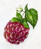 Slut upp respberry blyertspennateckning Royaltyfri Fotografi
