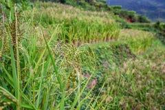 Slut upp risväxter i risfältfält Royaltyfri Fotografi