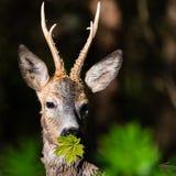 Slut upp roedeer I en skog Arkivfoto