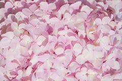 Slut upp rosa bakgrund för textur för abstrakt begrepp för natur för vanlig hortensiablommadetalj Arkivfoton