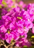 Slut upp rosa bougainvillea Arkivbild
