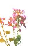 Slut upp rosa isolat för orkidéträd på vit bakgrund arkivbild