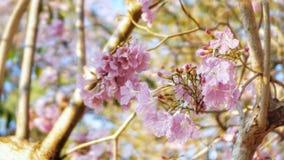 Slut upp rosa trumpetblommor och bakgrund för blå himmel royaltyfria bilder