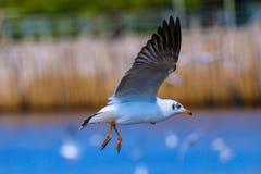 Slut upp seagullflyg i himlen Royaltyfri Foto