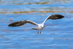 Slut upp seagullflyg i himlen Arkivfoto