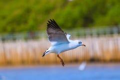 Slut upp seagullflyg i himlen Arkivfoton