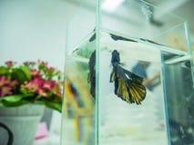Slut upp Siamese slåss fisk arkivfoton