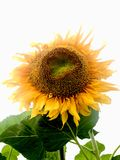 Slut upp solrosen med vit bakgrund Fotografering för Bildbyråer
