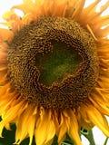 Slut upp solrosen med vit bakgrund Royaltyfria Bilder