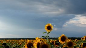 Slut upp solrosfladdranden i vinden stock video