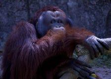 Slut upp Stående av den vuxna mannen av den vuxna orangutanget i zoo Royaltyfri Bild