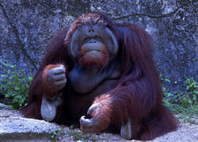Slut upp Stående av den vuxna mannen av den vuxna orangutanget i zoo Arkivbild