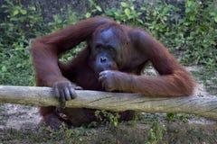 Slut upp Stående av den vuxna mannen av den vuxna orangutanget i zoo Arkivfoton