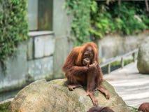 Slut upp Stående av den vuxna mannen av den vuxna orangutanget Arkivbild