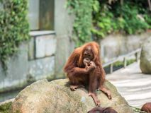 Slut upp Stående av den vuxna mannen av den vuxna orangutanget Fotografering för Bildbyråer