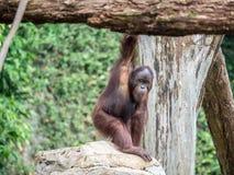 Slut upp Stående av den vuxna mannen av den vuxna orangutanget Arkivbilder