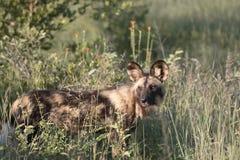 Slut upp ståenden av den afrikanska lösa hunden arkivfoto