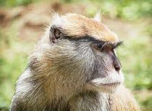 Slut upp ståenden av den Patas apan (Erythrocebuspatas), djur s Arkivbilder