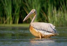 Slut upp ståenden av den smutsiga vita pelikan Royaltyfria Bilder