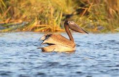 Slut upp ståenden av den unga vita pelikan arkivfoton