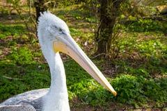 Slut upp ståenden av Pelecanusonocrotalusen - som också är bekant som den östliga vita pelikan Arkivbilder