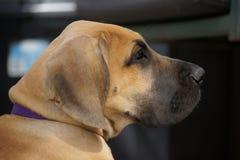 Slut upp stora Dane Puppy Royaltyfri Bild