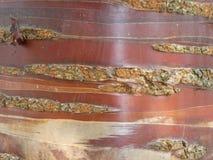 Slut upp tibetana Cherry Birch Tree Bark arkivfoto