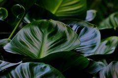 Slut upp tropiska caladiumsidor med mörk tändande bakgrund royaltyfria foton