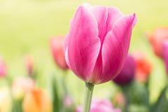 Slut upp tulpan för pastellfärgade rosa färger i Michigan Royaltyfri Fotografi