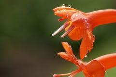 Slut upp vattensmå droppar på den orange blomman i vår royaltyfri fotografi