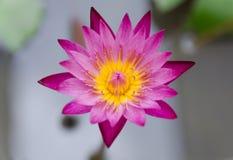 Slut upp violett lotusblomma Arkivbild
