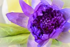 Slut upp violett lotusblomma med det violetta kronbladet Fotografering för Bildbyråer