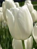 Slut upp vita tulpan fotografering för bildbyråer