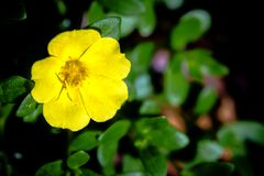 Slutet övre gula Portulaca blommar i trädgården Fotografering för Bildbyråer
