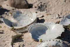 Slutet av abalone beskjuter upp på en strand Arkivfoton