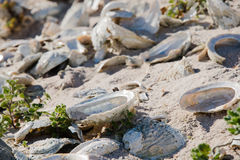 Slutet av abalone beskjuter upp på en strand Royaltyfria Bilder