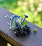 Slutet av att bevattna kan upp med bär för den svarta vinbäret Arkivbild