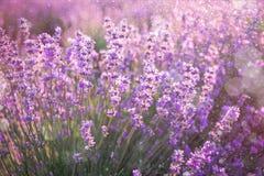 Slutet av blommande lavendel blommar upp under sommarsolstrålarna Lavendelbakgrund Royaltyfri Foto