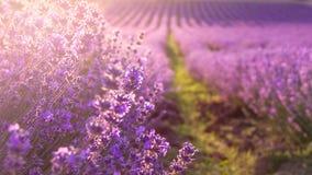 Slutet av blommande lavendel blommar upp under strålarna av gå ner solen Royaltyfria Bilder
