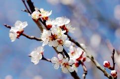 Slutet av blomningaprikosträdet fattar upp Arkivfoto