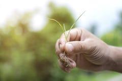 Slutet av den Asain mannen med skyddande handskar som rymmer gräsväxten, spirar upp med rotar Arkivfoton