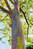 Slutet av den färgrika abstrakt begrepp mönstrar upp av regnbågeEucalyptustree Arkivfoto