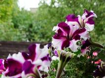 Slutet av den färgrika blommande petunian blommar upp, naturlig bakgrund royaltyfria bilder