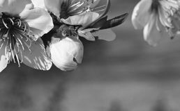 Slutet av den härliga nektarinen blommar upp pistillar som blommar i vår i svartvitt Royaltyfri Bild