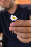 Slutet av den manliga handen ger upp lös en kamomill- eller tusenskönablomma med förälskelse romans känslor Arkivfoto