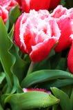 Slutet av den röda tulpan med vatten tappar upp royaltyfri fotografi
